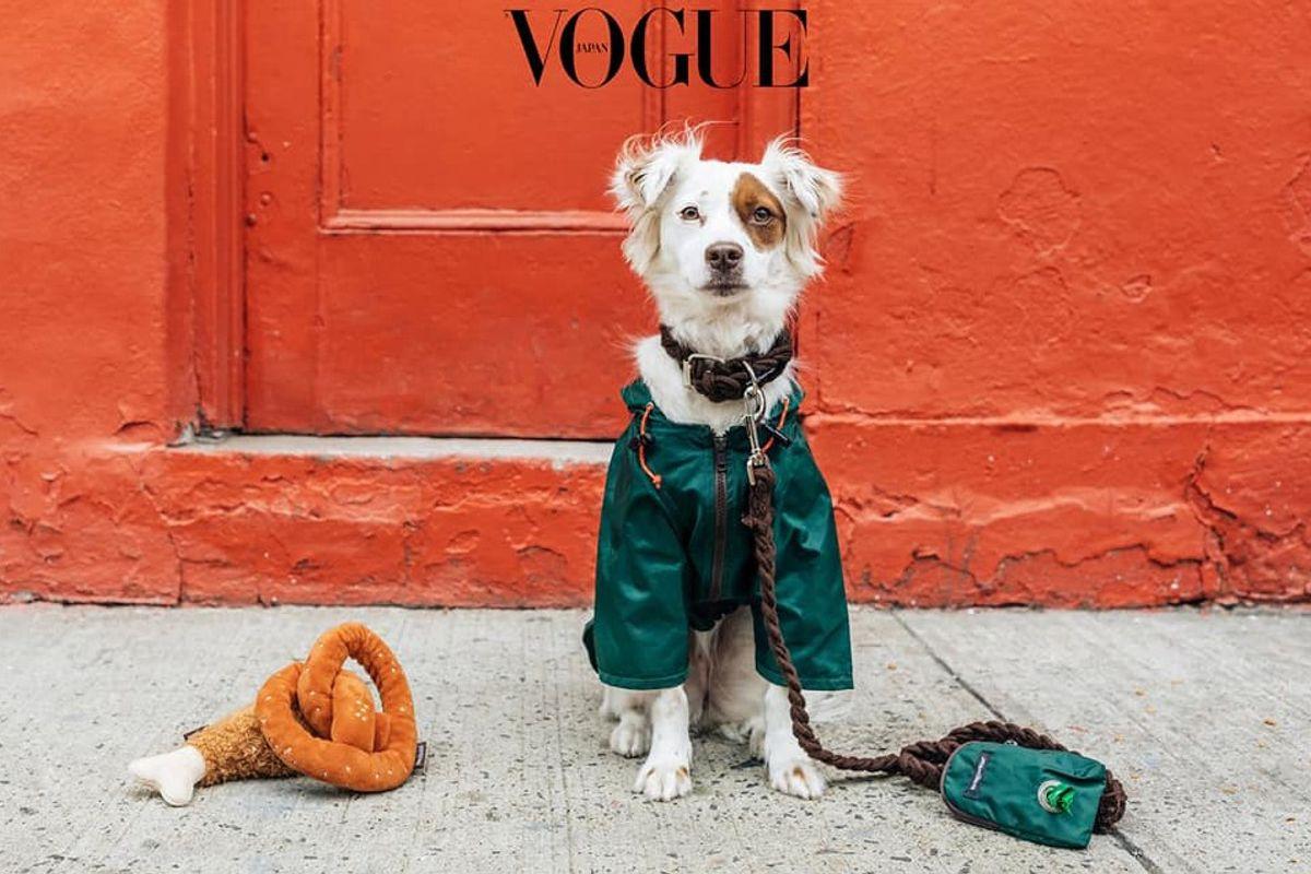 Charlotte: La Puerto Rican Terrier que modela para Vogue - WAPA.tv -  Noticias - Videos